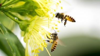 Пчелният прашец – суперхрана  и естествен антибиотик