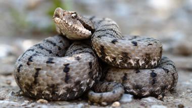 Кои са отровните змии в България и какво да правим, ако ни ухапят (СНИМКИ)