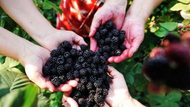 Черното злато сред плодовете ще държи диабета и куп други болести далеч от вас