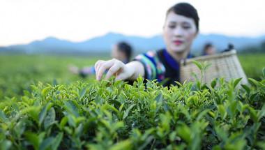 Чудотворен чай, познат от древни времена, защитава от рак на гърдата