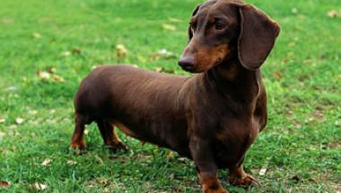 Кучетата откриват рак в 97% от случаите