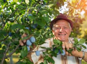 Сушените сини сливи повишават мъжката потентност