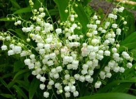 Растението, създадено от сълзите на Дева Мария