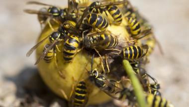 Какво да правите, ако ви ужили пчела или оса?