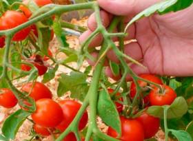 Защо никога не трябва да държим доматите в хладилник