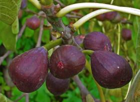 """Кои са полезните свойства на плодовете, наречени """"сладострастните лечителки"""""""