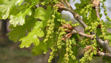 Здраве от млади клонки и кората на дървета