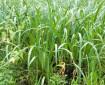 Едно нашенско растение е мощна защита срещу COVID-19