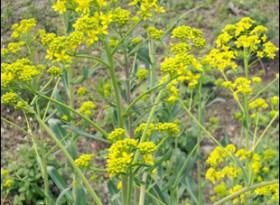 Растението, което може да помогне в борбата срещу COVID-19