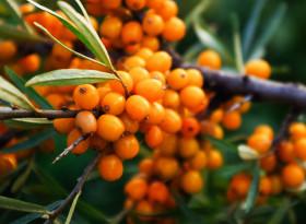 Чай от морски зърнастец: лек за куп болежки