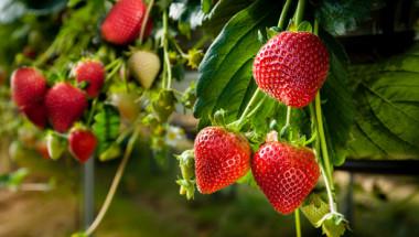 Как да разпознаем истинските ягоди от обработените?