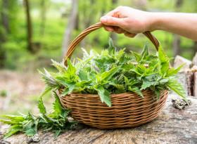 Диетолог посочи неподозирани лечебни свойства на копривата