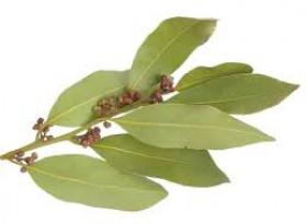 Защо е полезно да дъвчете дафинов лист?