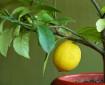 Лимоново дърво и кипарис в стаята пречистват въздуха от микроби