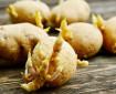 Кълновете на картофите могат да са лекарство