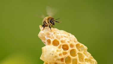 Как да приемате пчелно млечице за подсилване на имунитета?