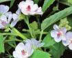Сироп за кашлица с корен от лечебна ружа